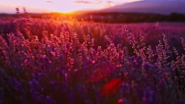 Sunset over lavender fields in Provence in France