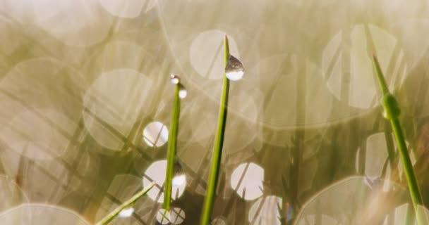Kapky rosy na trávě