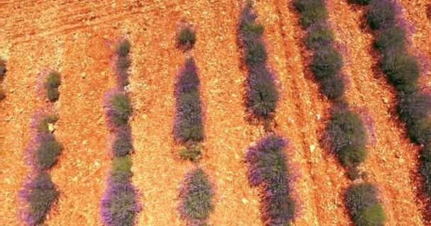 Provence v létě, levederova pole