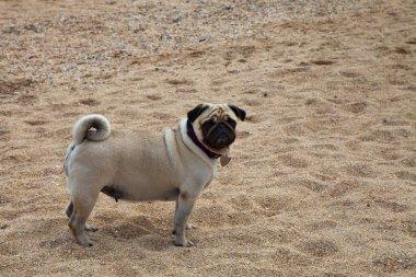 Pug walks along the sandy beach near the sea