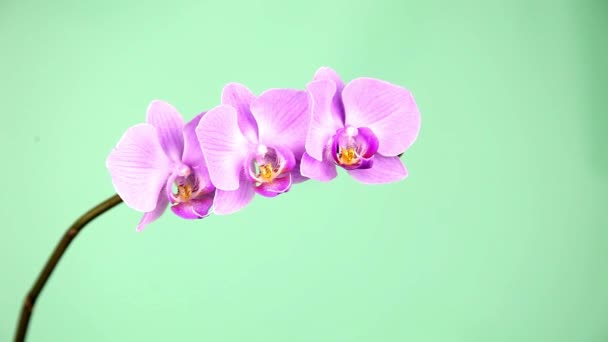 Hand touches the orchid. Pink orchid on a green background close-up