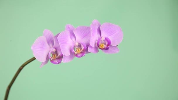 Ruka se dotýká orchidej. Růžová orchidej na zeleném pozadí detail