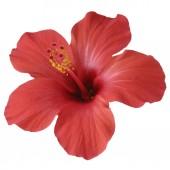 piros Hibiszkusz virág elszigetelt fehér background