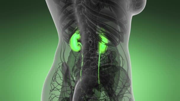Scienza anatomia dei reni umani incandescente