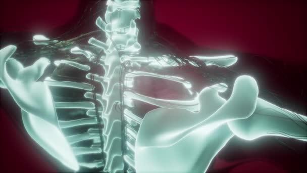 Anatomía de la ciencia del cuerpo humano en rayos x con esqueletos ...