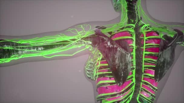 színes emberi belső szervek átkutat