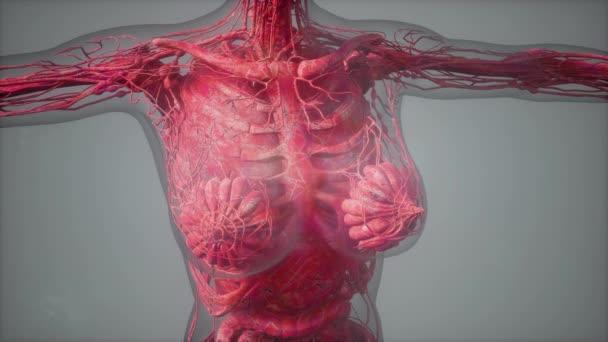 model ukazuje anatomii lidského těla ilustrace