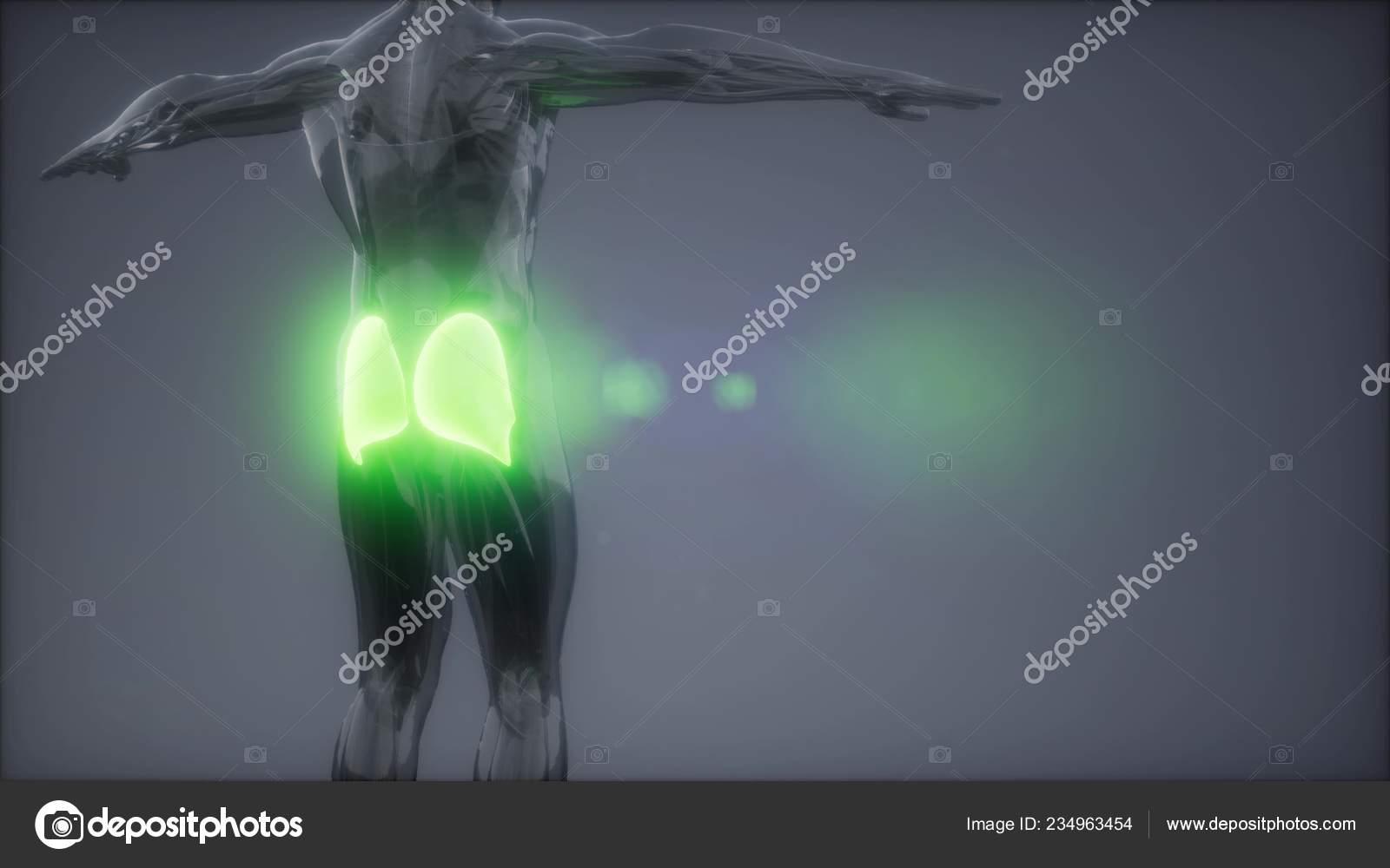Anatomia de los musculos del gluteo