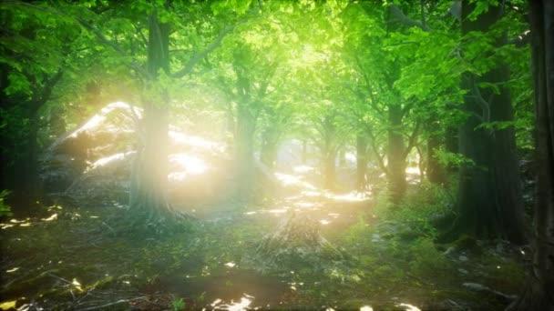 Lesní z buků ozářená paprsky