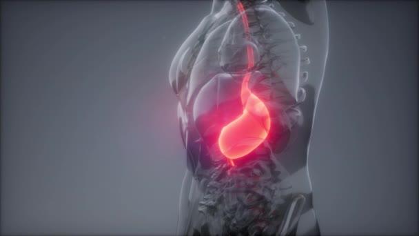 Lidský žaludek radiologie zkouška