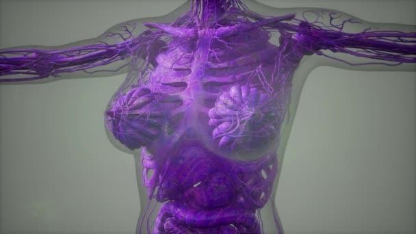 model zobrazující anatomii ilustrace lidského těla
