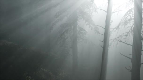 Nadelwald im Gegenlicht der aufgehenden Sonne auf einem nebligen