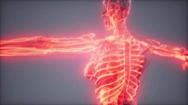Vasi sanguigni del corpo umano