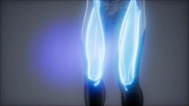 Oberschenkelmuskeln - Visible Muscle Anatomy Map