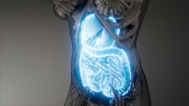 emberi emésztőrendszer részei és funkciói