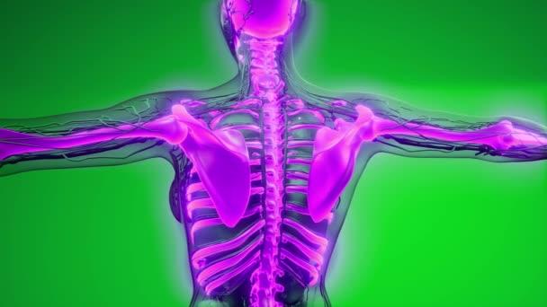 Átlátszó emberi test látható csontokkal