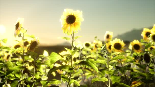 Sunflower field on a warm summer evening