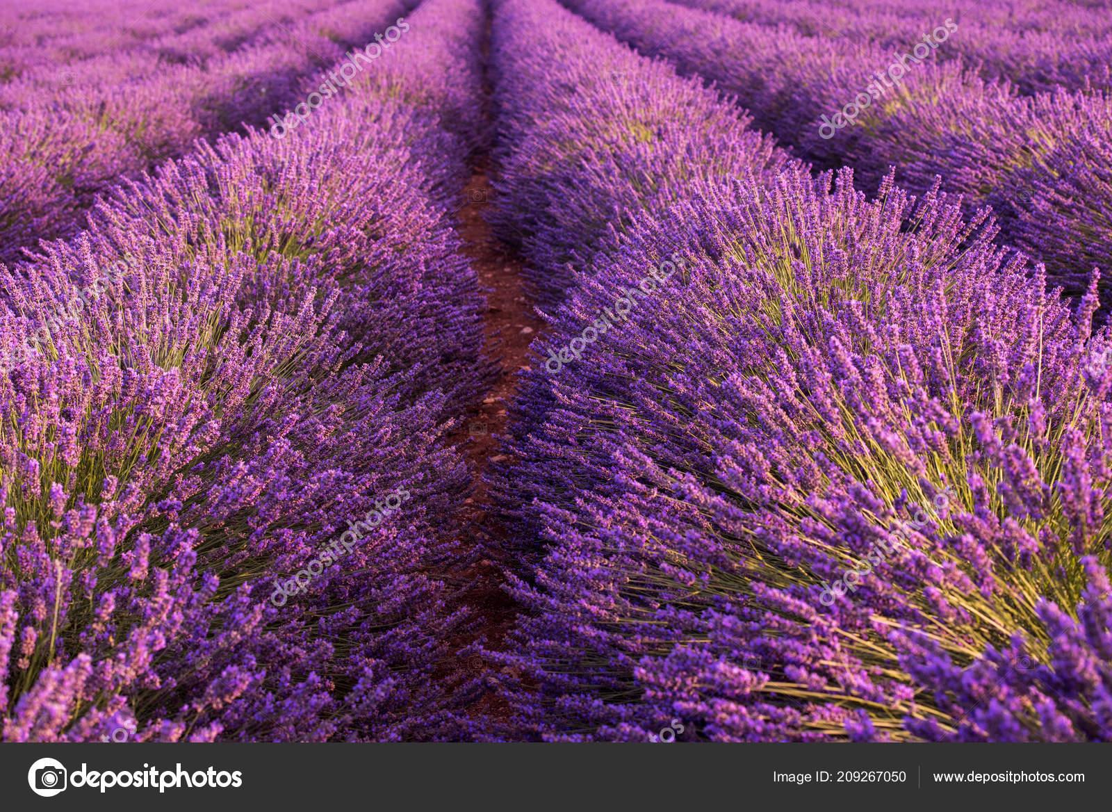 Closeup Purple Lavender Field Blooming Flower Sunlight Flare Bacground Nature Stock Photo C Shock 209267050