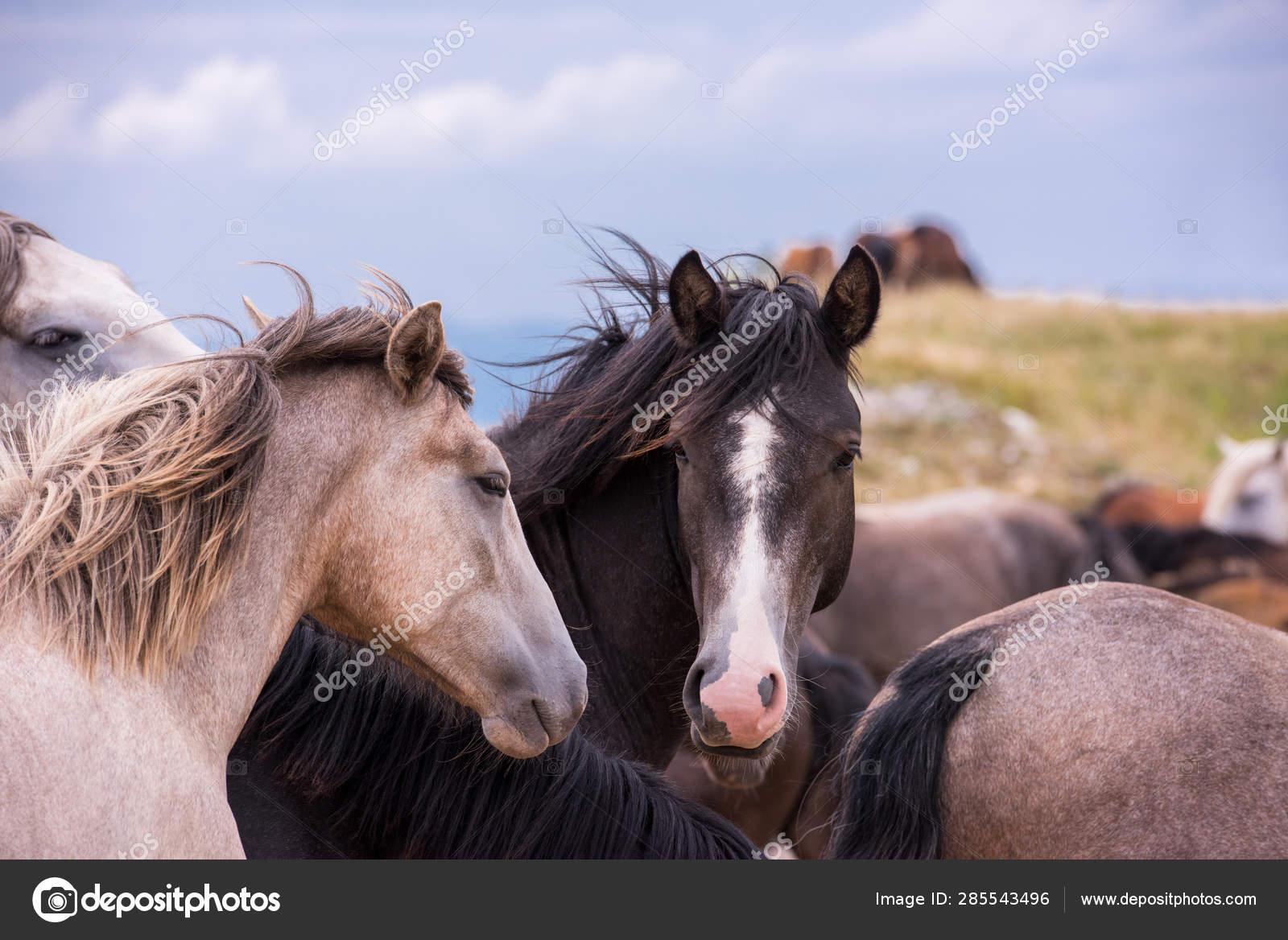 Portrait Of Beautiful Wild Horses Stock Photo C Shock 285543496