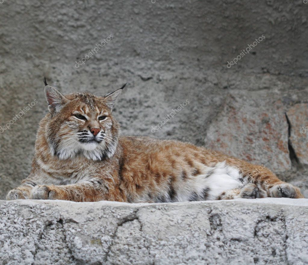 lynx , summer day in zoo
