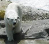 fehér jegesmedve, állatkert