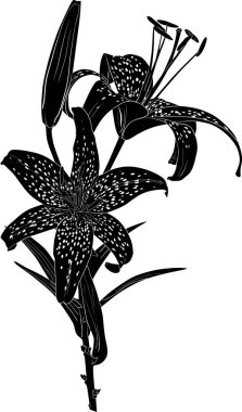 black spotted lily sketch with two blooms