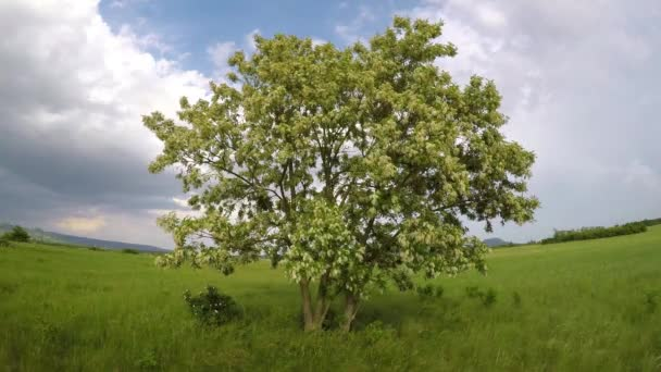 Trnovník akát strom s mnoha bílými květy na jaře