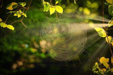 Spiderweb at sunrise light in the forest