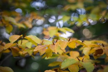 Beautiful beech tree leaves in autumn forest