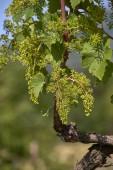Fotografia Chiuda in su della pianta delluva in primavera con i fiori uva
