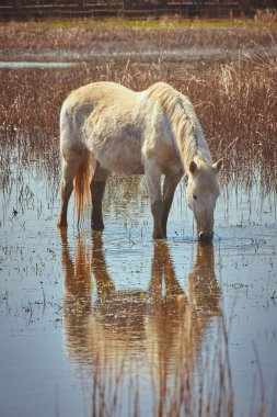 White horse in wetland in national park in Spain (Aiguamolls de l Emporda)