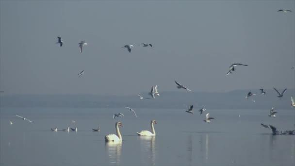 Sok sirályok repül át a víz egy magyar lake Balaton, Keszthely város közelében