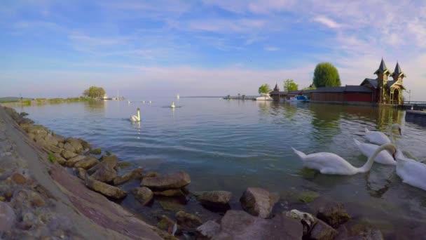 Sok hattyú a Balaton partján, Keszthelyen, Magyarországon
