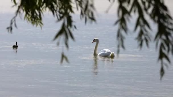 White mute swan swimming on the lake Balaton of Hungary