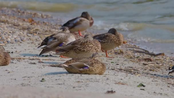 Wild ducks relaxing on the coas the lake Balaton of Hungary