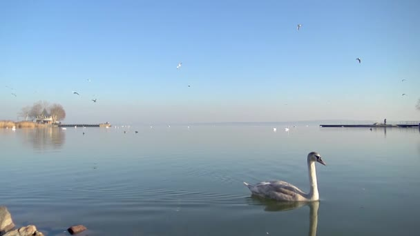 Mute swan and many seagulls flying over the water in a Hungarian lake Balaton in promenade of town Keszthely