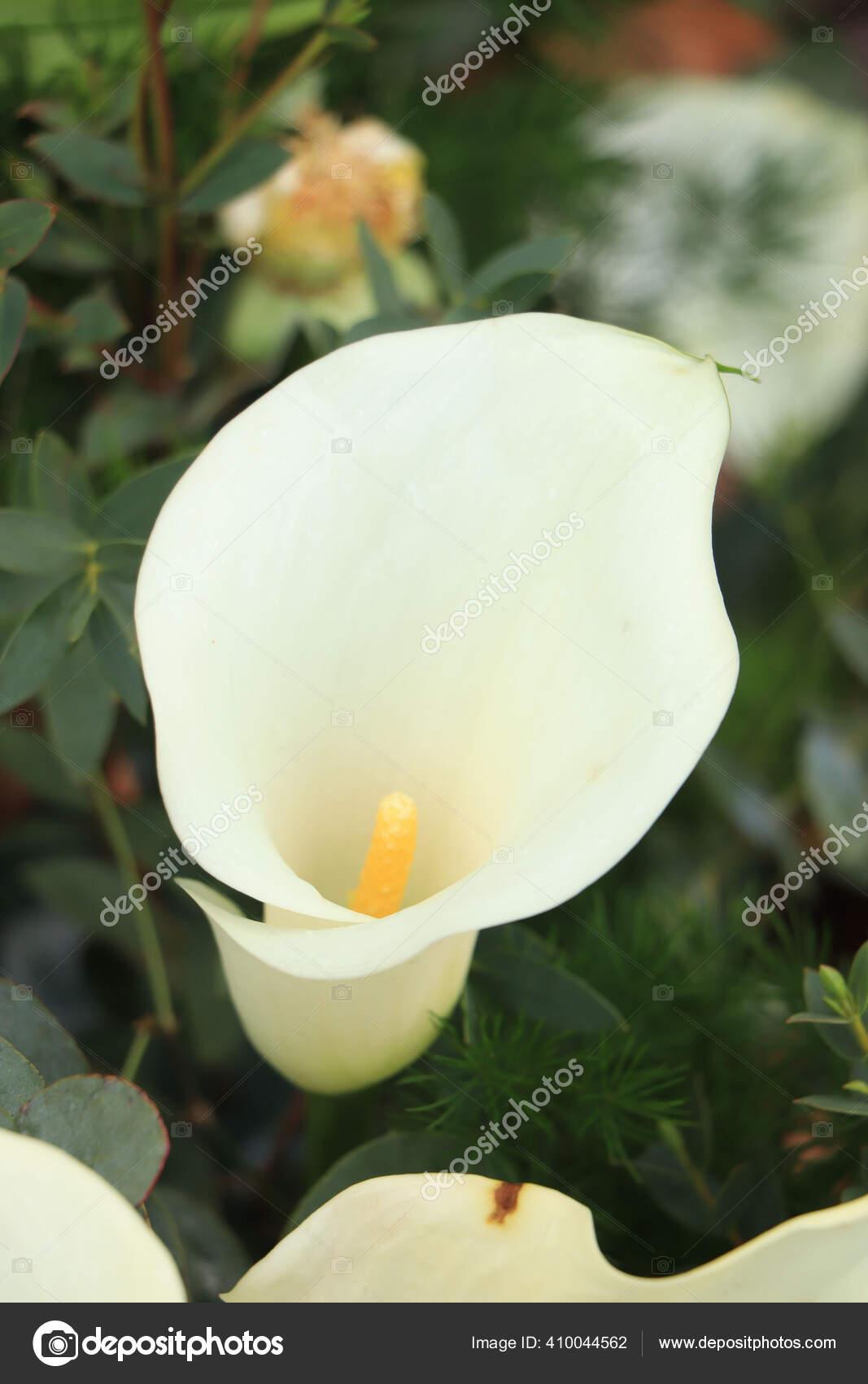 Big White Arum Lilies Bridal Flower Arrangement Stock Photo C Portosabbia 410044562