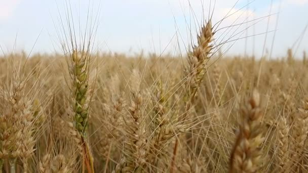 Wheat field in summer agriculture