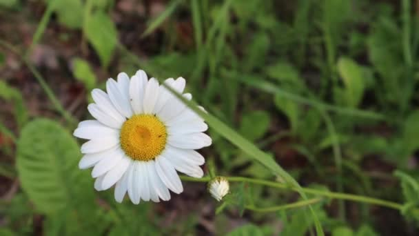 Single white daisy with yellow core on a meadow swaying in the wind