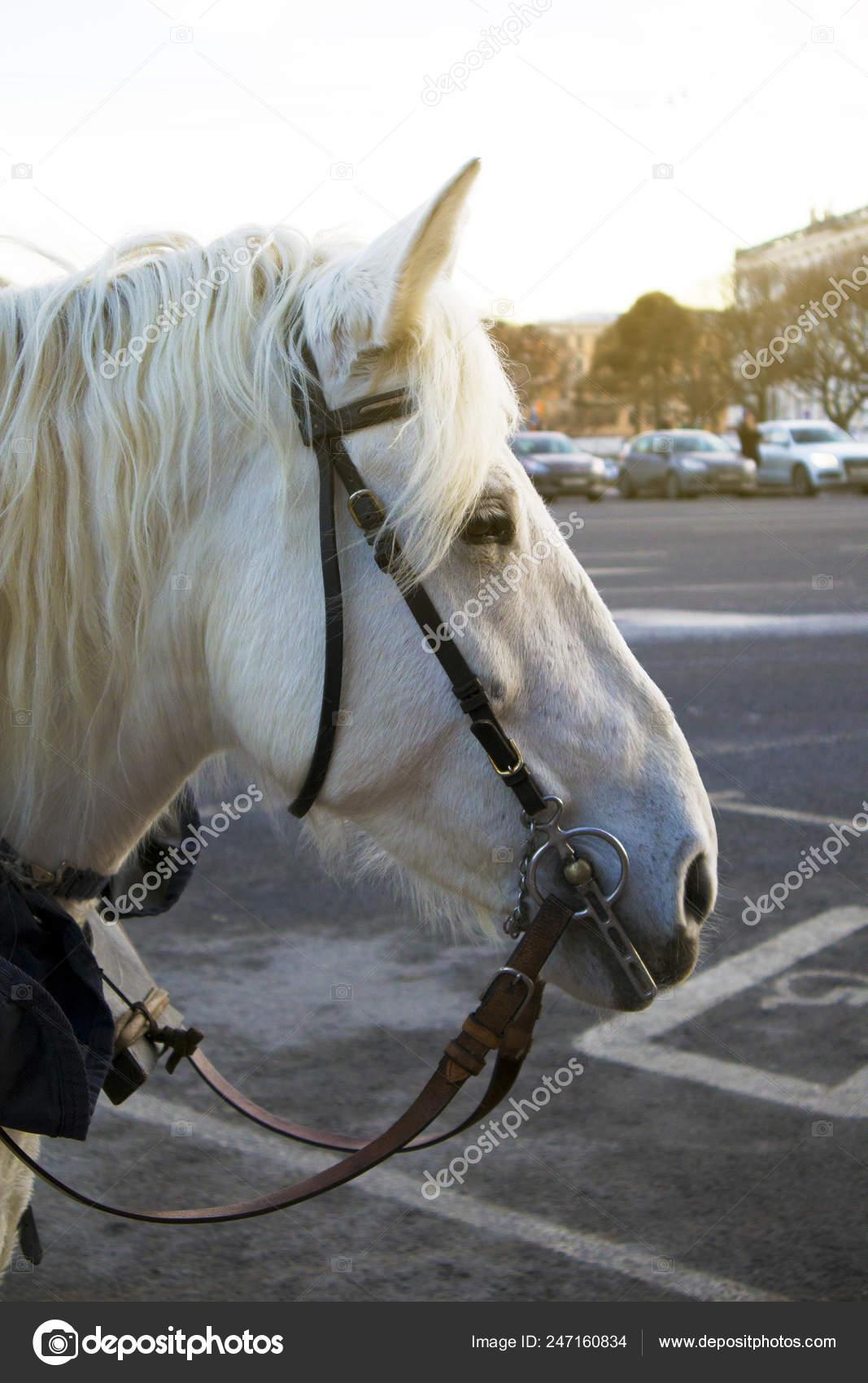 Profile Funny Cute White Horse Waiting Passengers City Street Stock Photo C Dominojazz Mail Ru 247160834