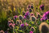 fialová bodláková během západu slunce
