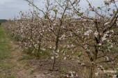 jablečný sad na začátku jara s řadou stromů pokrytých poupaty a květy