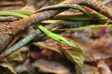 Green vine snake (Long-nosed whip snake ) in natural habitat. Snake in serpentarium