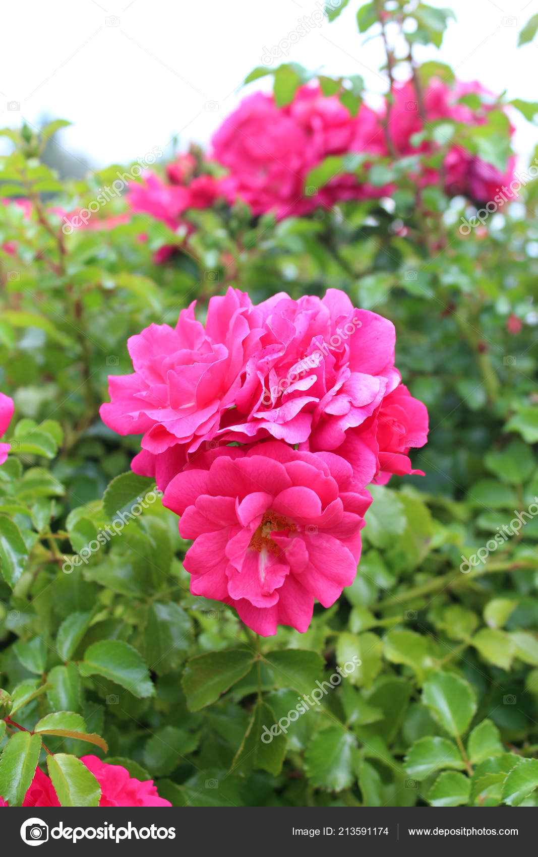 Beautiful Pink Rose Flowers Growing Garden Sunny Summer Day