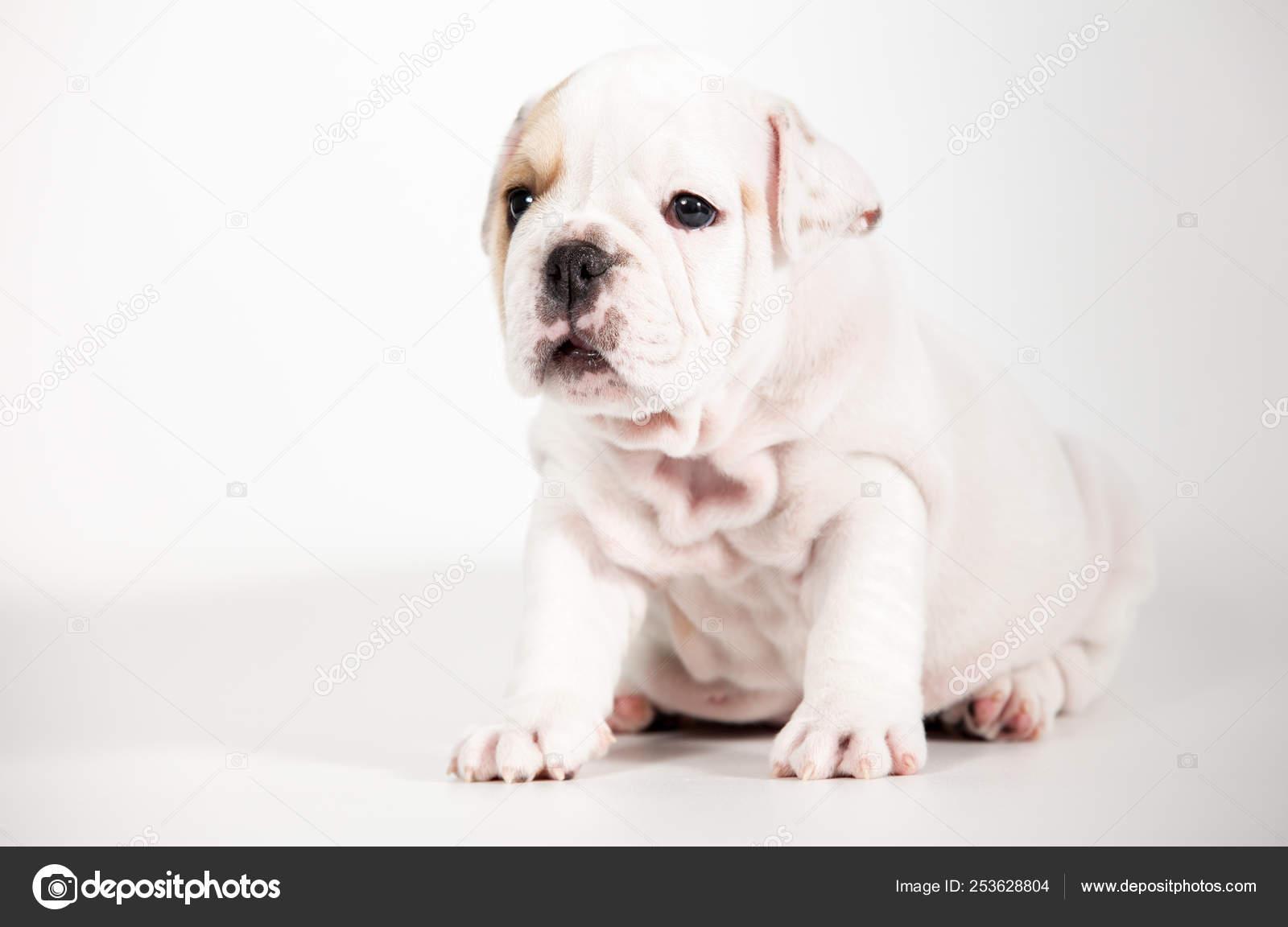 English Bulldog Puppy White Background Stock Photo C Anpet2000 253628804