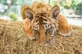 Blízký pohled na portrét malého tygřího mláděte