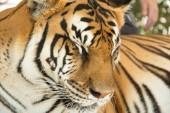 Portrait of big wild striped bengal tiger