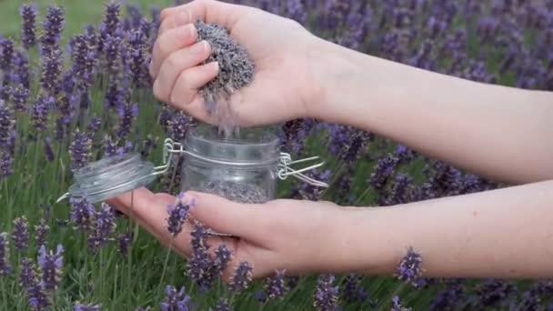 Lavender flowers picking. Woman pours lavender flowers into a glass jar.