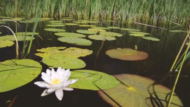 White river Vodní lilie mezi zelené vody, vegetace