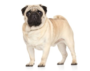 Portrait of a Pug dog on white background. Animal themes